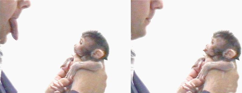 A baby makake imitating the mimic of a human