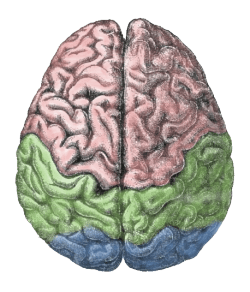 The left and the right brain hemisphere. They are anatomically similar, but different, and ongoing cognitive science is still being done to find out which cognitive functions are dominated by one side or the other.