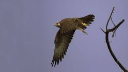 Laggar_Falcon_in_Flight-250x141