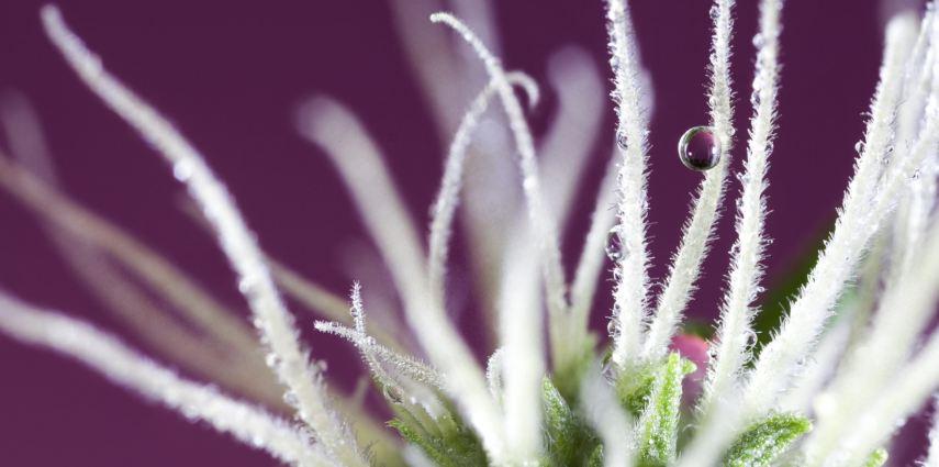 Cannabis, marijuana, cannabis stigmas, THC, CBD, health, flowers, buds, trichomes, stigma, macro, cannabis, medical marijuana, Sebastian Marincolo